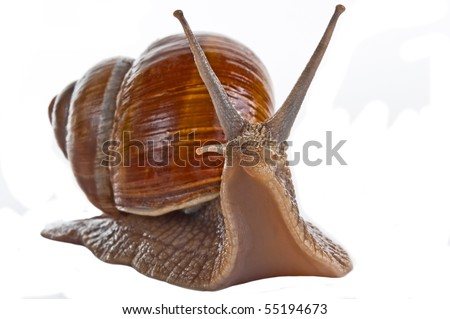 Grape snail isolated on a white background - stock photo
