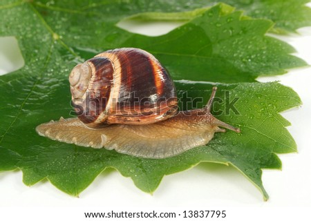 Grape snail on a sheet of a grapes in drops of a rain