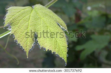 Grape that has collected dew during the night - stock photo