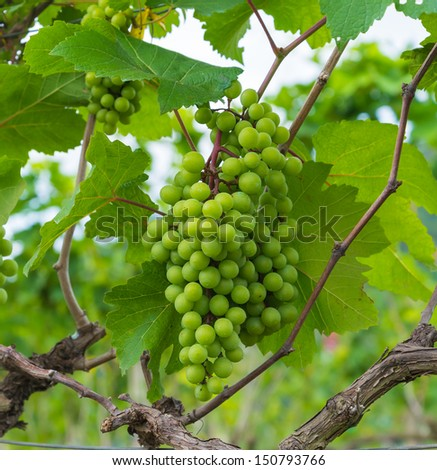 Grape valley from thailand. - stock photo