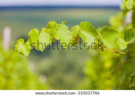 Grape vine and leafs in the fields. - stock photo