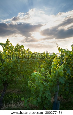 Grape vine and sunbeams behind clouds - stock photo