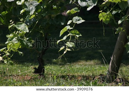 Grape vine in a vineyard. - stock photo