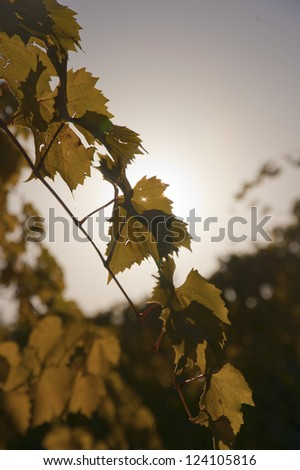Grape vine in the evening light - stock photo
