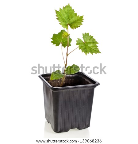 Grape vine seedlings in a disposable plastic flowerpot container isolated on white background - stock photo