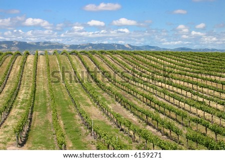 Grape Vines - stock photo