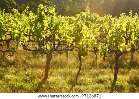 Grape vines back lit in the evening light