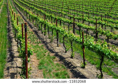 Grape Vines In Early Spring - stock photo