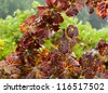 Grape Vines in October, Sonoma County ,California, USA - stock photo