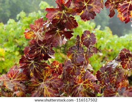 Grape Vines in October, Sonoma County ,California, USA - stock photo