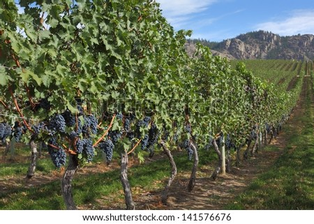 Grape Vines, Okanagan. Ripe bunches of red grapes hang on the vine in a vineyard ready to be harvested. Okanagan Valley near Osoyoos, British Columbia, Canada.  - stock photo