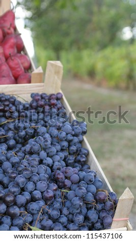 Grape vineyard - stock photo