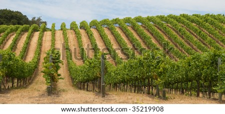 Grape Vineyard in California's Sonoma County Wine Country