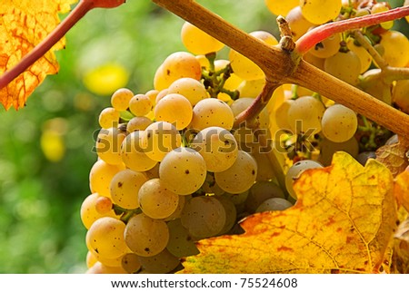 grape white - stock photo