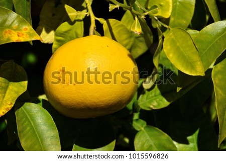 grapefruit photographed on a grapefruit tree