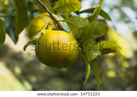Grapefruits ripening on a branch