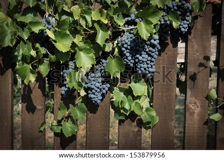 Grapes and  wooden fence  - stock photo