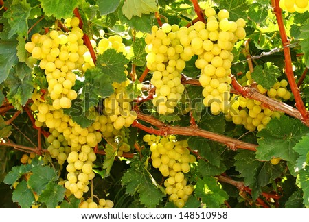 Grapes clusters on a vineyard