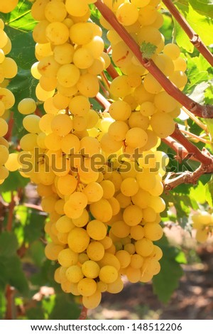 Grapes clusters on a vineyard  - stock photo
