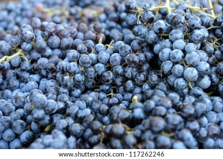 grapes for red wine - stock photo