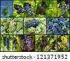 grapes growing and ripening in vineyard - stock photo