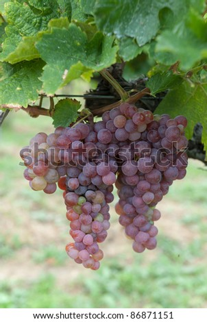 grapes growing in a vineyard in austria - stock photo