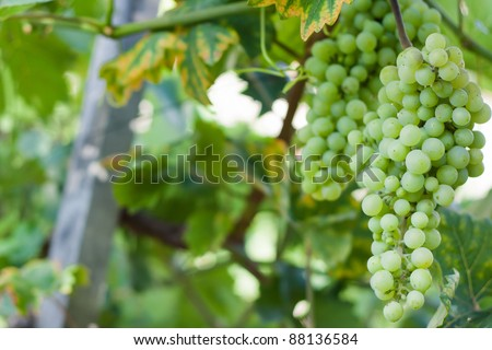 Grapes growing on a vine in a vineyard - stock photo