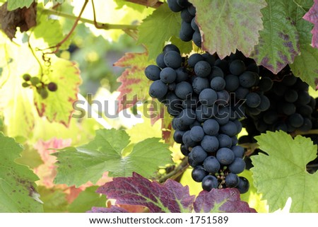 Grapes growing on the vine - stock photo