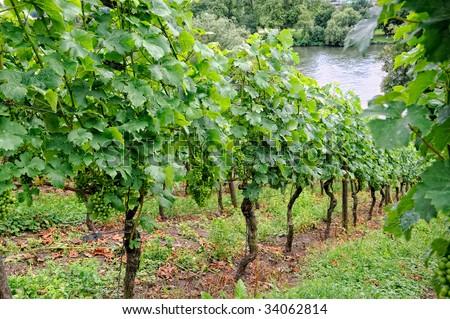 Grapes growing on Vine - Beautiful Vineyard - stock photo