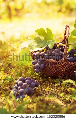 Grapes harvest. Autumn nature in vineyard with basket of grapes - stock photo