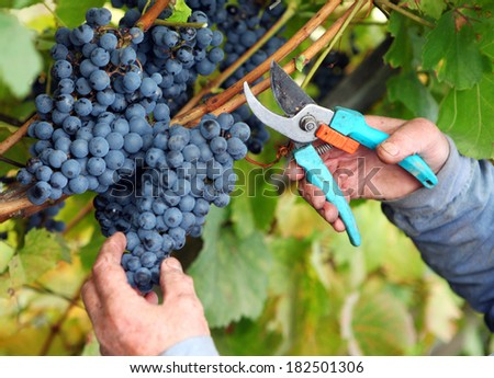 Grapes harvest in vineyard
