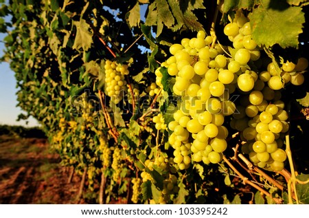 Grapes in a vineyard. - stock photo