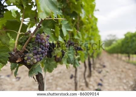 grapes in a vinyard - stock photo