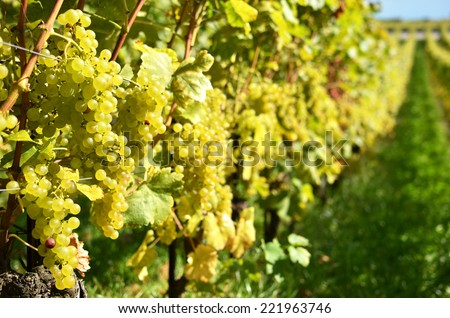 Grapes in Lavaux, Switzerland  - stock photo