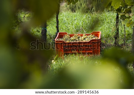 grapes in the box - stock photo