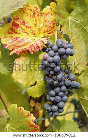 Grapes in the fall - stock photo