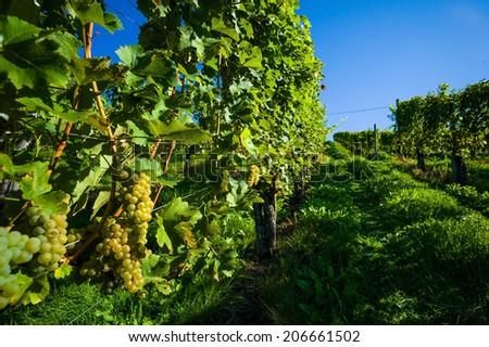 grapes in the vineyard of winemaker. vineyard in autumn. - stock photo