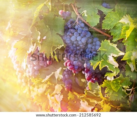 Grapes in the vineyard (sunset in the vineyard) - stock photo