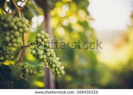 Grapes in vine - stock photo