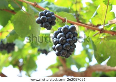 Grapes in vineyard - stock photo
