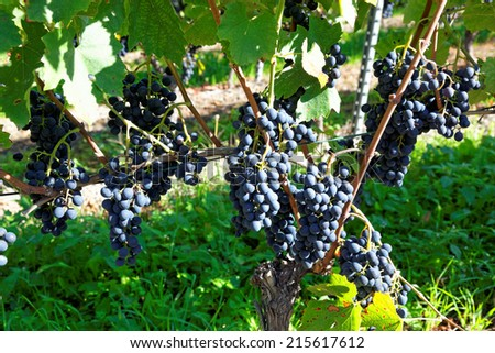 Grapes in Visperterminen, Switzerland - Highest vineyards in Europe. Surrounded by Switzerland's highest mountains, the vineyards of Visperterminen flourish at altitudes of up to 1,200 m (4,000 ft). - stock photo