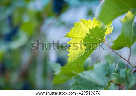 Grapes leaves in a vineyard, illuminated by the sun