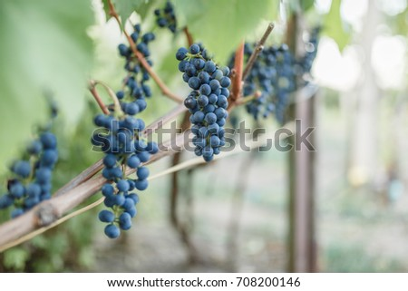 grapes of grapes hang on the vine, several grains of dark grapes