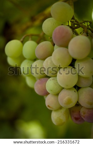 Grapes on a bush. Dream winemaker. - stock photo