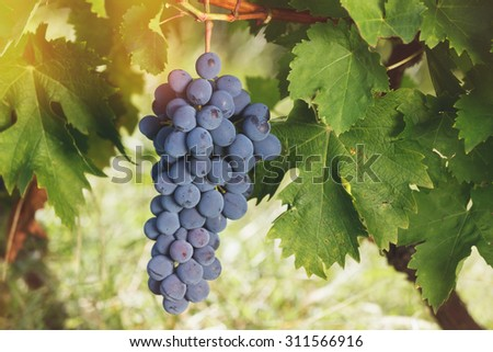Grapes on a vine. Close up of ripe bunch of red grapes on vine in a vineyard, Soft and blur style for background. A photo with  shallow depth of field  - stock photo