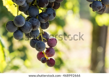 Grapes on a vine in a wine vineyard in east Tennessee