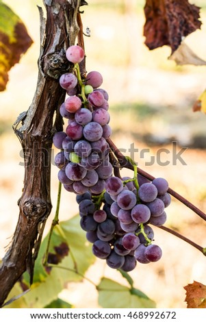 Grapes on a vine in a wine vineyard in Tennessee