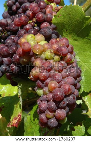 Grapes on the vine - stock photo