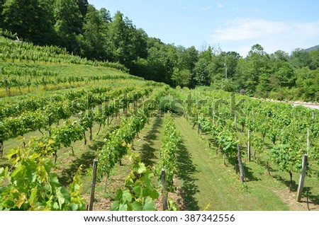 Grapes on the vine during the summer in North Carolina