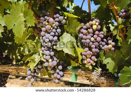 grapes on the vine in a vineyard in Napa Valley, California - stock photo